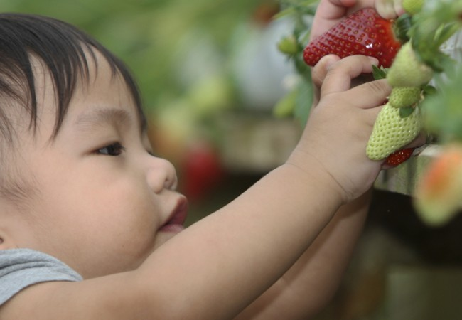 A little toddle grasps at a bunch of strawberries growing on a bush